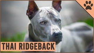 Thai Ridgeback  Why Get A Thai Ridgeback?