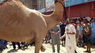 Camel Qurbani Video Eid 3rd day Eid ul adha 2020 CAMEL VIDEO  EID UL AZHA 2020 Bakra eid 2020