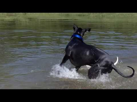 Thor The Great Dane.........A Short Film By PANZERTOO
