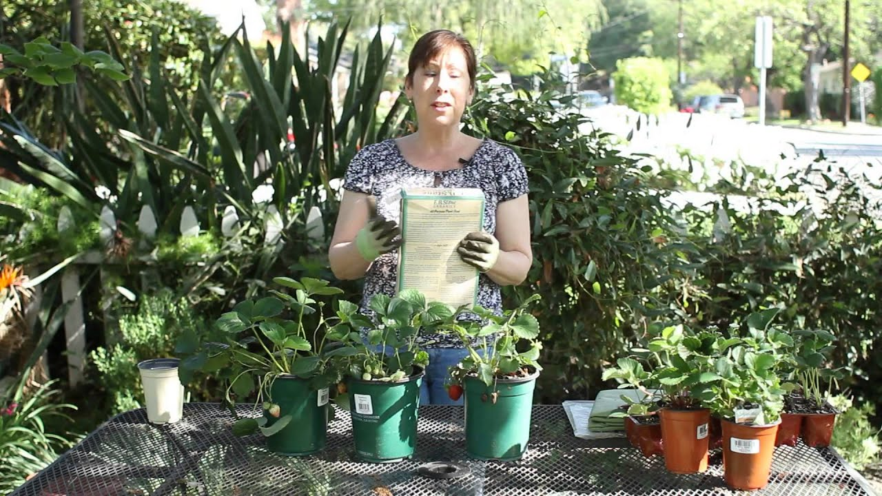 How to Fertilize Everbearing Strawberries : Garden Space