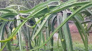 Người nông dân sẽ trồng thanh long hiệu quả hơn khi thấy mô hình này