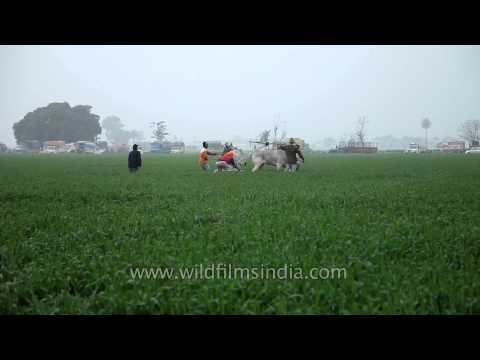 Villagers participating in bullock race competition
