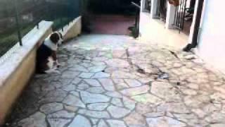 Petardo Fa Spaventare Un Beagle!!!