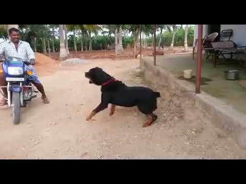 Rottweiler Attack || Rotweiller Attack In India ...