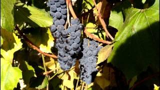 Изабелла – столово-технический сорт винограда(Изабелла – столово-технический сорт винограда позднего срока созревания. Часто применяется для озеленени..., 2015-10-04T11:34:38.000Z)