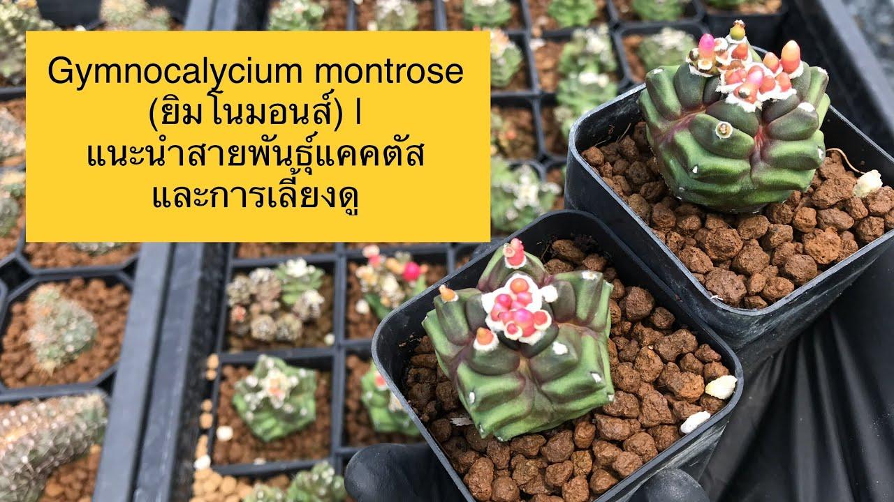 Gymnocalycium montrose (ยิมโนมอนส์) | แนะนำสายพันธุ์แคคตัสและการเลี้ยงดู