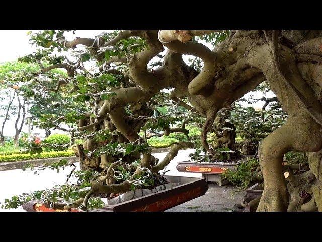 Cây hàng Cẩu đồng giá 30 triệu - bonsai trees the same price