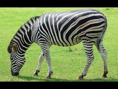عالم الحيوان والحمار الوحشي زيبرا Youtube