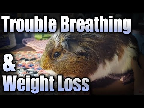Guinea Pig Has Trouble Breathing And Lost A Lot Of Weight