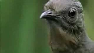 Video El pájaro que imita sonidos. download MP3, 3GP, MP4, WEBM, AVI, FLV Desember 2017