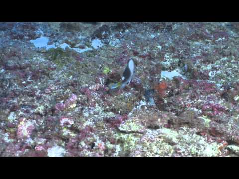 Chromis struhsakeri   Pearl and Hermes at 87m   video by Robert K  Whitton