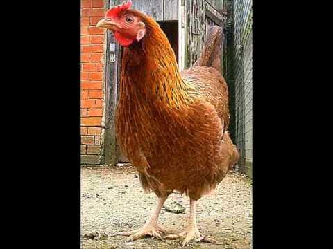 hqdefault - jeux d'adresse:La galine