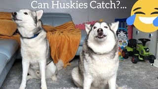 Siberian Huskies Catching & Eating Biscuits.. [ASMR] [WITH FUNNY SLOW MOTION]