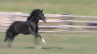 Amazing liberty black Andalusian stallio...