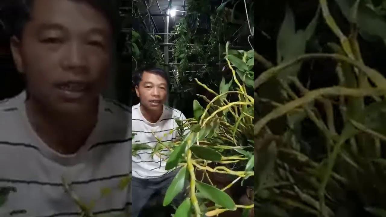 Thăm quan khu trồng hoa phong lan Thảo My xanh