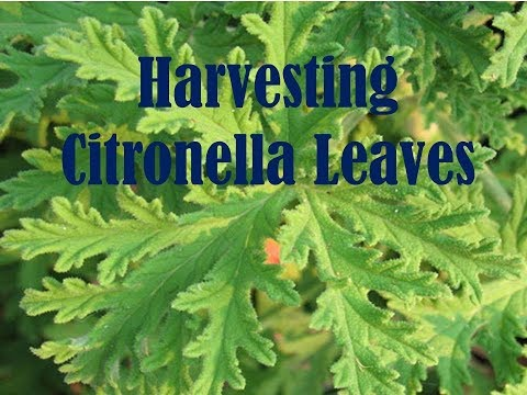 End of Season - Harvesting Citronella (Pelargonium citrosum) Leaves