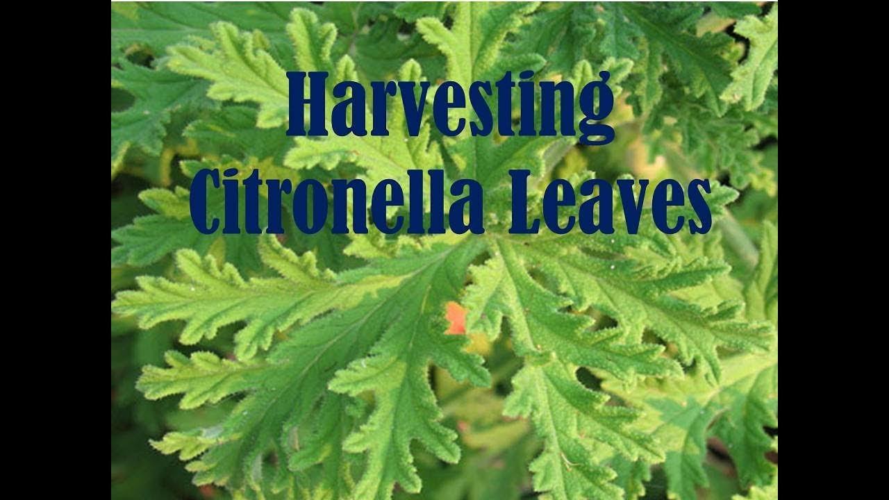 End Of Season Harvesting Citronella Pelargonium Citrosum