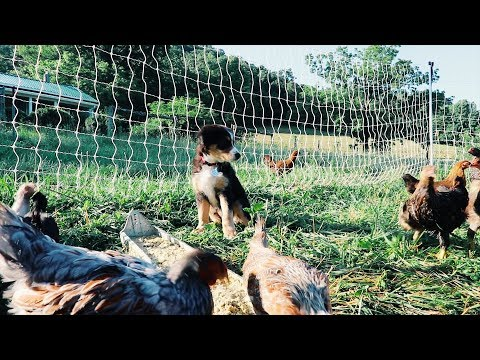 Puppy Video For Kids ~ Puppy Meets Real Farm Animals