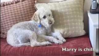 Harry the Gentleman Terri-Poo Mix