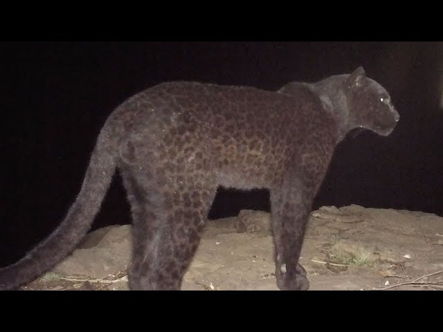 The Real Black Panther - Black Leopard Spotted in Kenya