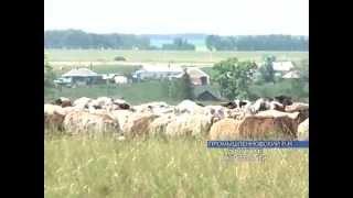 Самая большая отара овец