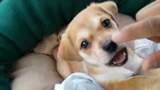 Shih Tzu/ Jack Russell Mix Puppy