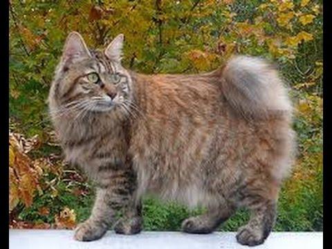 Kurilian Bobtail Longhair cat