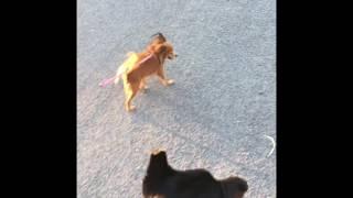 Доберман с маленькой подружкой на прогулке