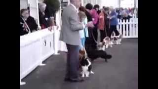 Melbourne Show Cavalier King Charles Spaniels
