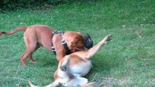 Douge De Bordeaux Vs. South African Boerboel 5