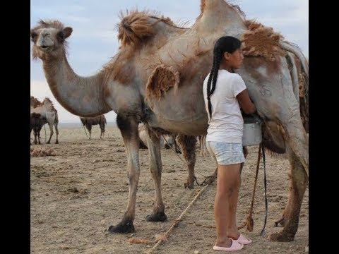 Can Camel Milk CURE Eczema??