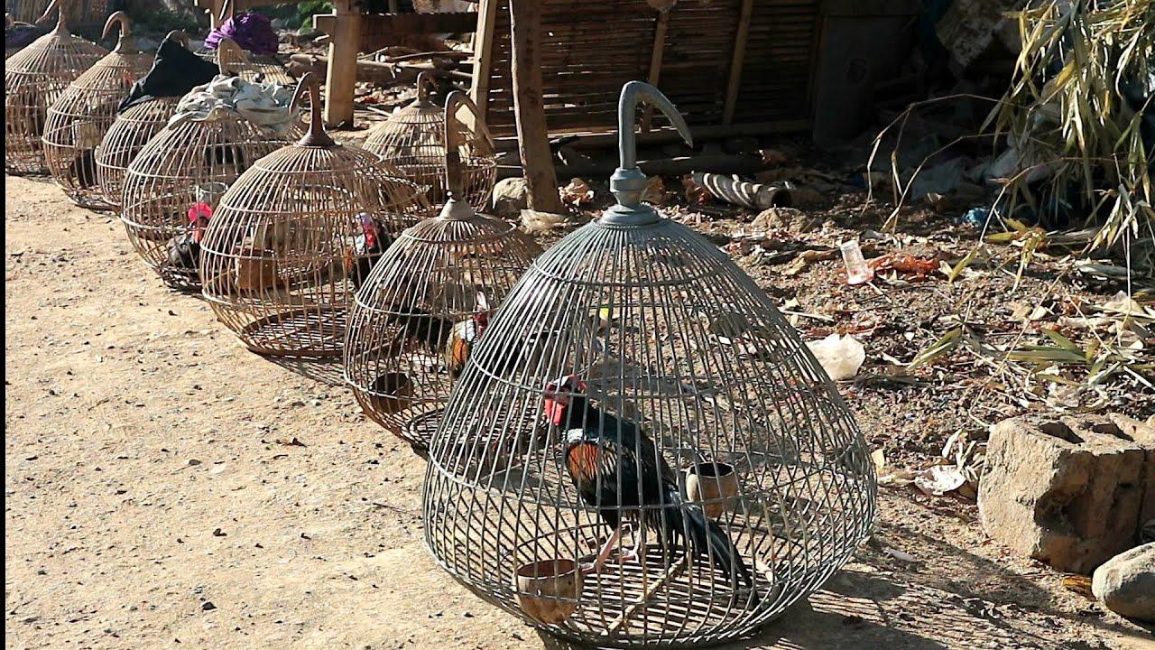Ayam hutan Calon juara saat Lomba tgl 9 Agustus nanti/ LATBER perwakilan dari sekotong