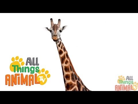 Thumbnail: GIRAFFE: Animals for children. Kids videos. Kindergarten | Preschool learning