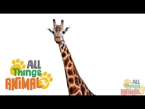 GIRAFFE: Animals for children. Kids videos. Kindergarten | Preschool learning