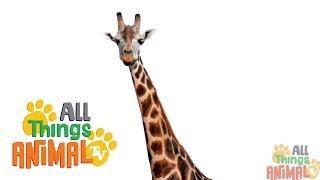 GIRAFFE: Animals for children. Kids videos. Kindergarten   Preschool learning