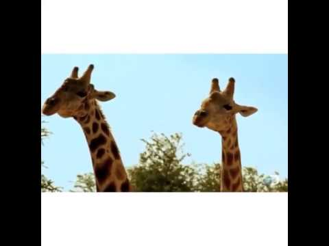 The Giraffe Fight
