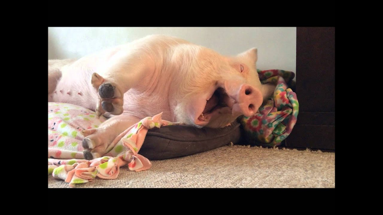 esther the wonder pig the biggest yawn ever youtube