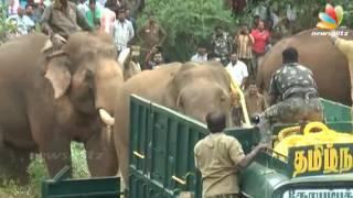Kumki Elephant Real Scene: Wild Elephant Caught With The Help Of Kumki | Fight