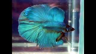 Akvaryumda beslenen en güzel 12 balık türü