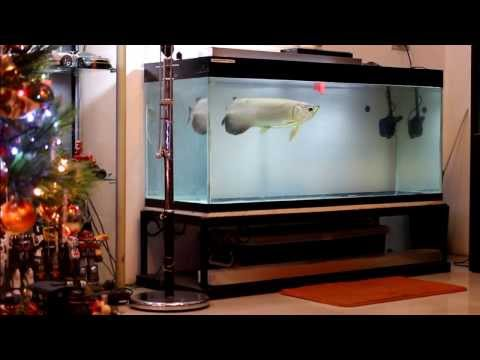 [HD]  My Green Arowana