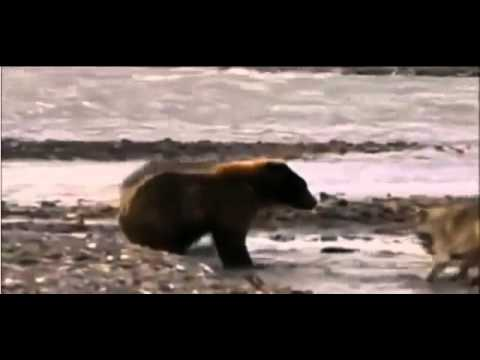 Grizzly attacks Wolves   Grizzly vs  Wolves Bear vs  Wolves Гризли против волков