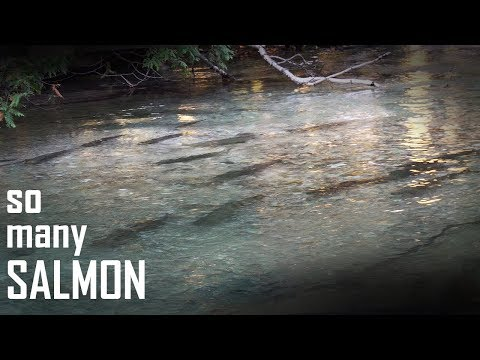EPIC Salmon Fly Fishing In CLEAR Creek - CATCH AND COOK