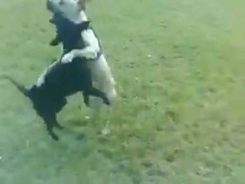 American Pitbull Terrier vs labrador mix
