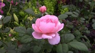 Розы в саду. Цветение розы Queen Of Sweden Austin 2004 Английские розы