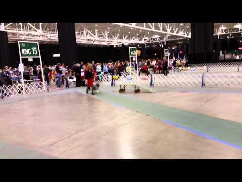 IX Center Dec 13, 2014 Saturday Keeshond ring Classes #1 video