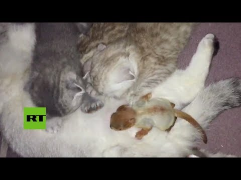 Ternura en estado puro: una gata adoptó una ardilla recién nacida