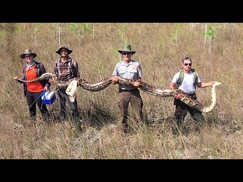 Wendy - Giant Snake Captured In Florida