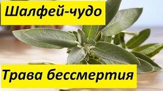 видео Шалфей лекарственный - полезные лечебные свойства