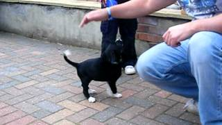 Labrador Collie Cross Puppy