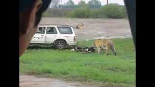 Tiger Eats Live Cow